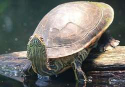 Turtles evolved to have shells