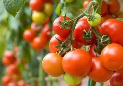 tomatoes skin cancer risk