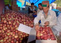 delicious kinnaur apples wiped out before bloom