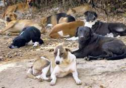 sterilisation to check stray dogs in steel city