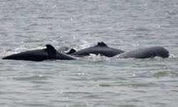 Dolphin carcasses washed ashore at Pentha beach in Odisha