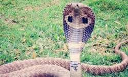 Uttar Pradesh cobra attack