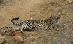 shadnagar, Hyderabad, Hyderabad Leopard, Leopard, Leopard tranquilised, Leopard captured, Leopard in