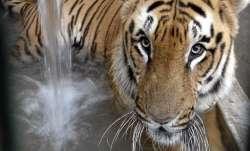 Tigress alert in Jharkhand's Ghatsila