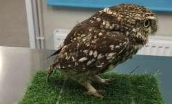 Obese owl, owl diet, owl on diet, Plump, Plump owl, fat owl, owl, Suffolk Owl Sanctuary, wild owl,