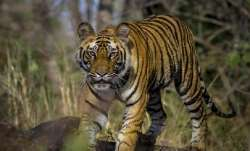 Chhattisgarh: Tiger chases tourist bus, two safari staff sacked