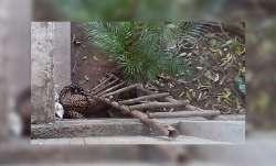Leopard, Chandigarh, covid19