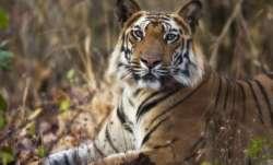 Tiger straying in human habitats quarantined at national park