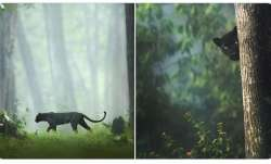 'Bagheera comes alive': Image of rare Black Panther spotted roaming around in Karnataka forest