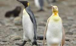 Rare yellow penguin spotted by photographer