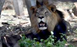 Three lions recovering slowly, efforts on to help them